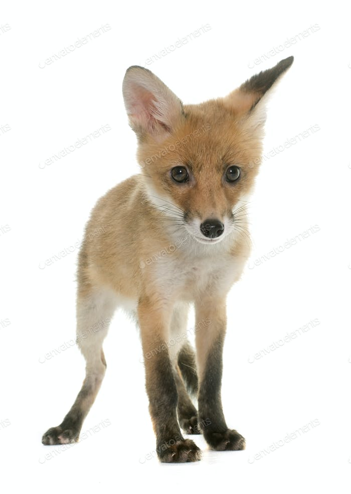 roter Fuchsjunges