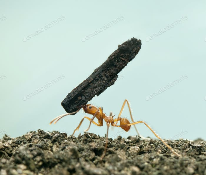 Leaf-cutter ant, Acromyrmex octospinosus, carrying bark in front of blue background