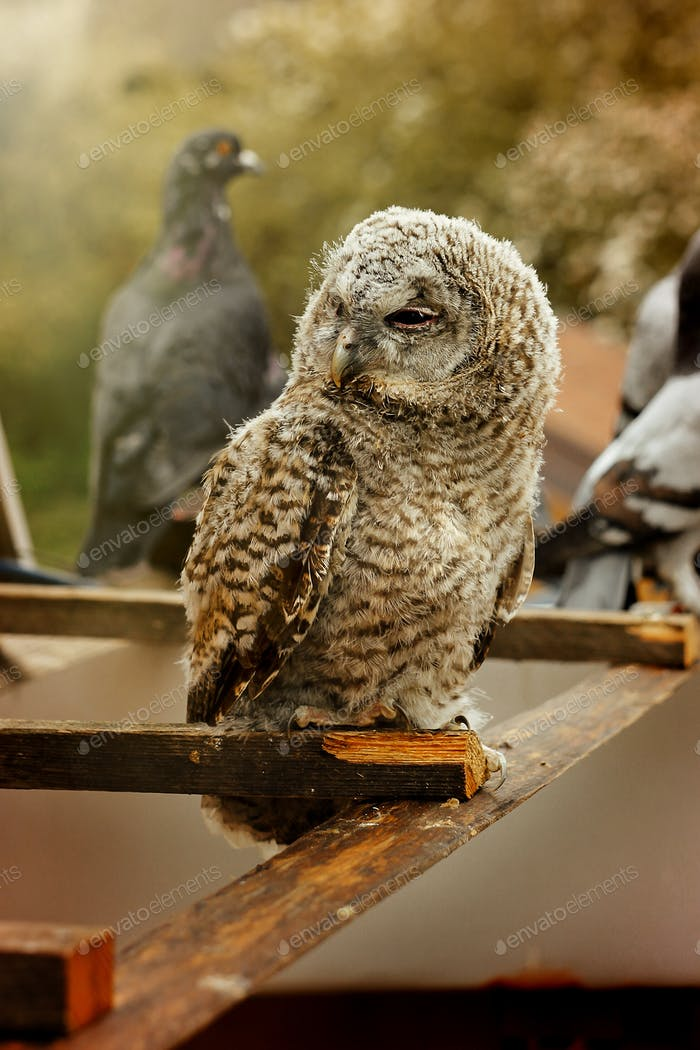 cute sweet owl with grey and brown feathers with funny look sitting on background of house