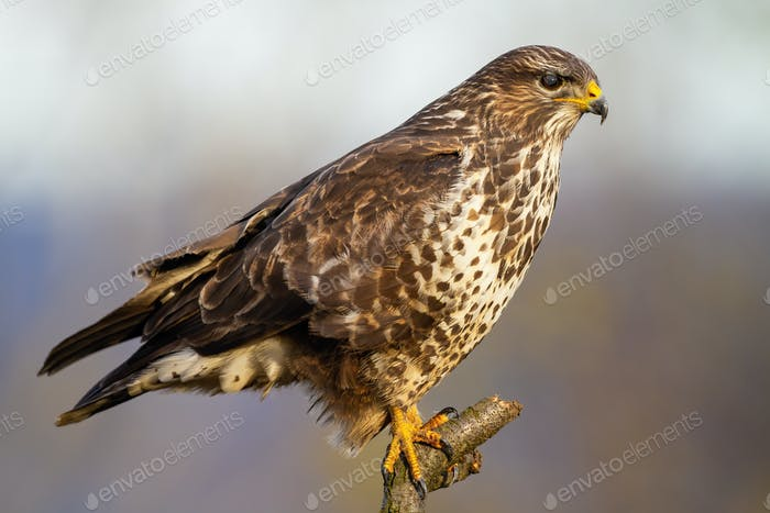 Concentrated common buzzard sitting on the branch and hunting during wintertime