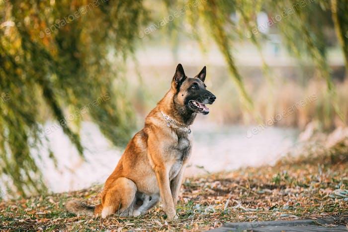 Malinois Dog Sitting Near Lake Under Tree Branches. Belgian Sheepdog Are Active, Intelligent