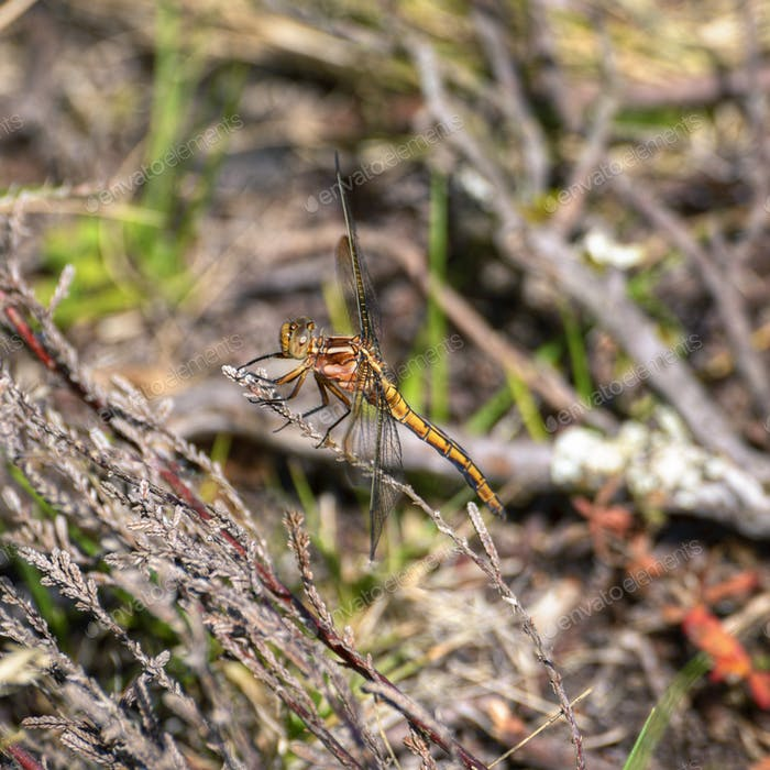 Large yellow dragonfly perched on a branch