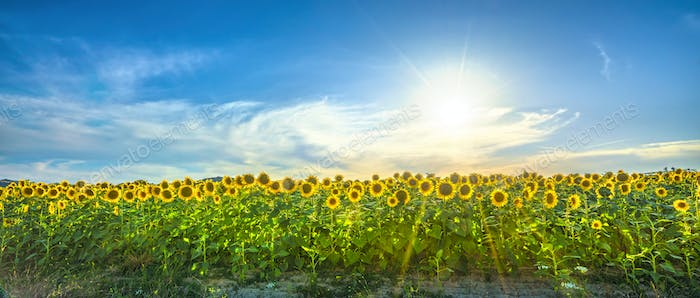 Sunflowers field panoramic landscape at sunset in Tuscany.
