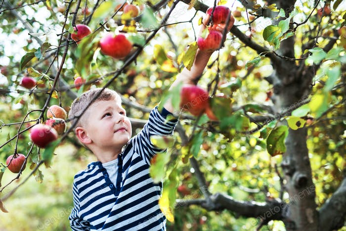 A small boy picking apples in orchard.
