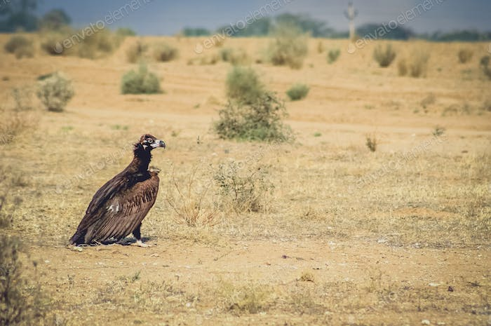 Big black vulture