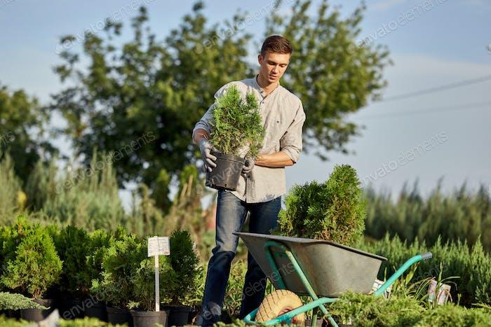 Guy gardener puts the seedlings in pots in a cart on the garden path in the wonderful nursery-garden