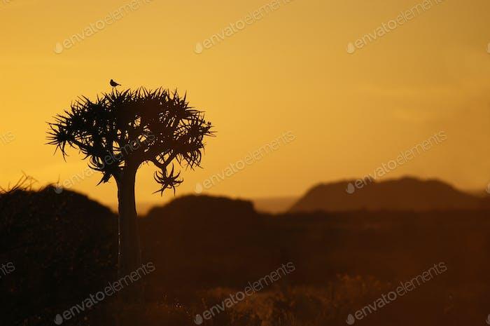 Vogel auf einem Köcher Baum Sonnenuntergang