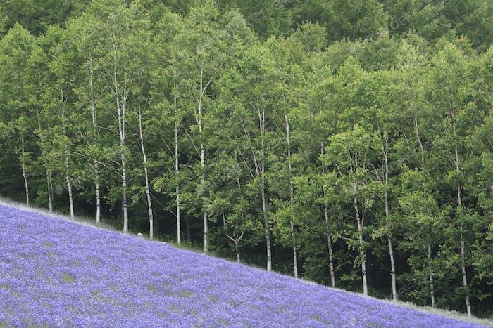 Abfallende Feld von lila Blüten mit Wald von Birkenbäumen im Hintergrund.