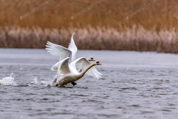 View of mute swan or Cygnus olor take wing on water