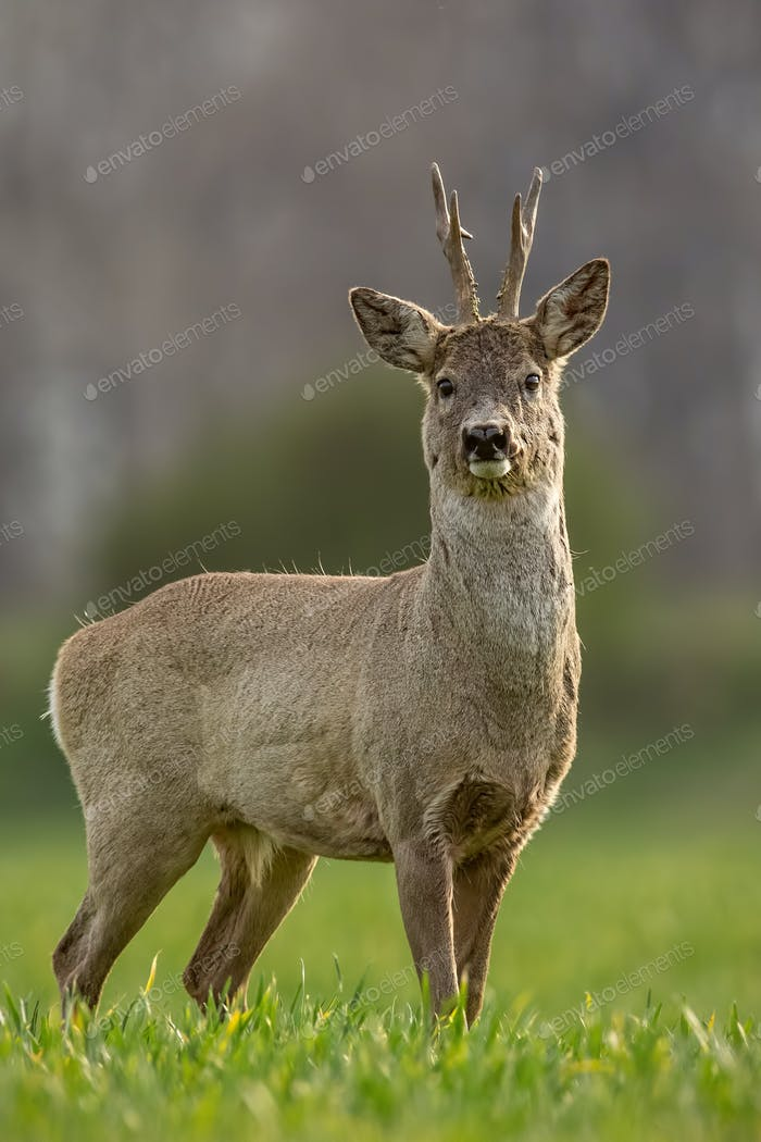 Roe deer, capreolus capreolus, buck on a spring sunny day