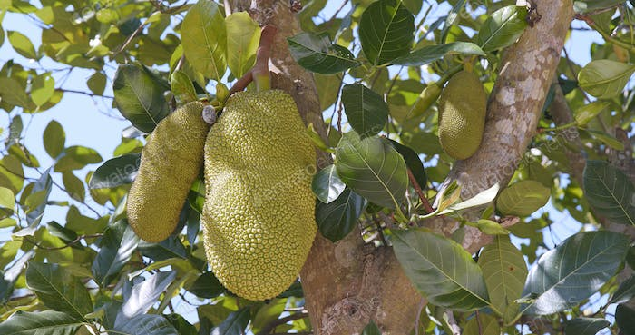 Jackfruits on tree branches