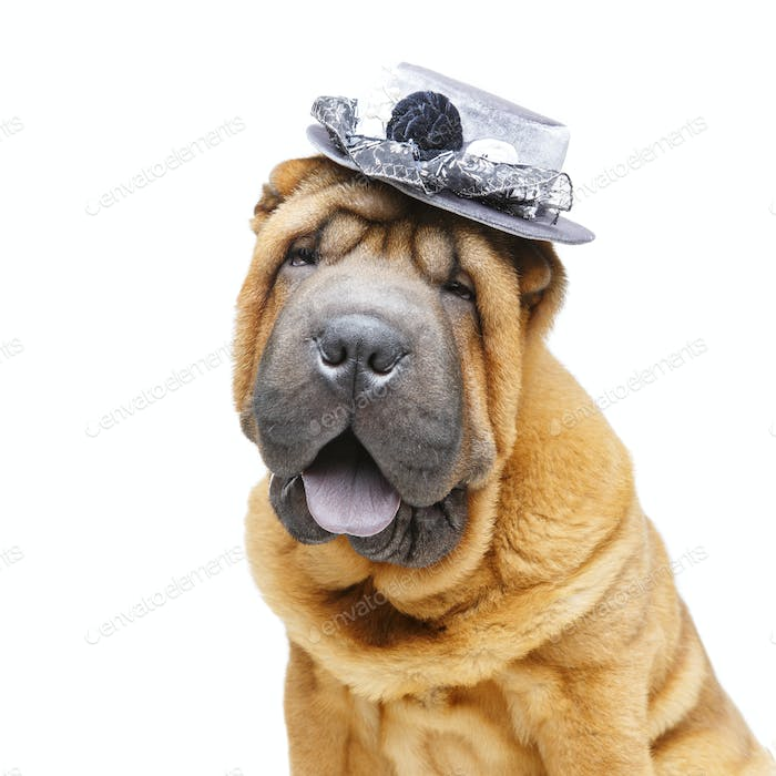 beautiful shar pei puppy in hat