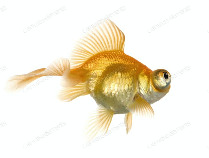 Goldfish - Carassius auratus auratus