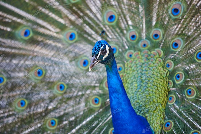 Peacock with colorful spread feathers. Animal background. Horizontal