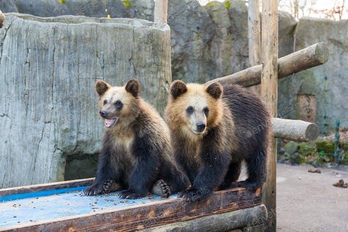 Kleiner Braunbär im Zoo