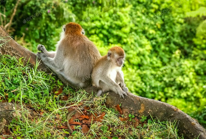 Two Macaques monkeys