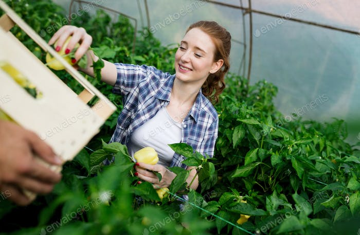 Woman working in a tomato greenhouse