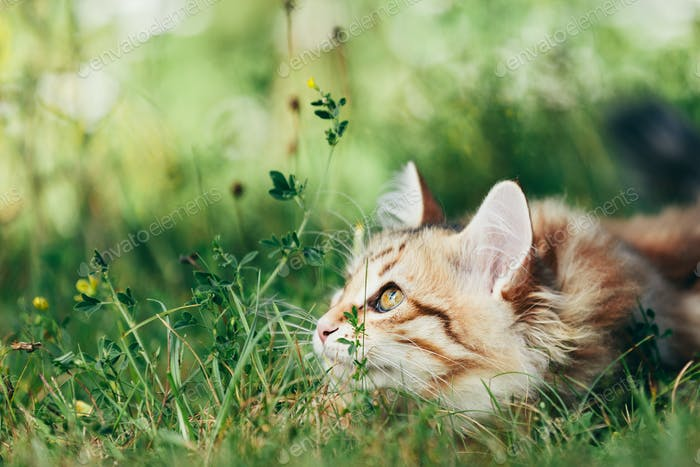A kitten - Siberian cat hunting in grass