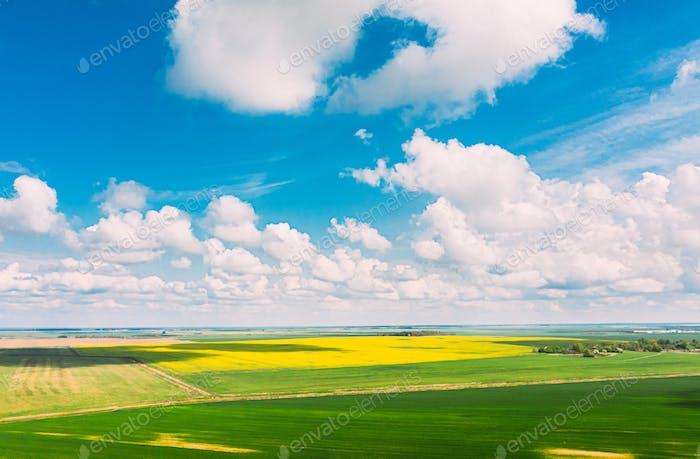 Luftaufnahme der Agrarlandschaft mit blühendem, blühendem Raps, Ölsaaten und grünen Jungen