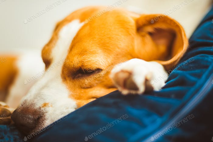 Adorable Beagle dog sleeping on couch. Canine background. Lazy rainy day on couch