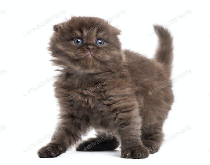 Highland fold kitten looking fearful, isolated on white
