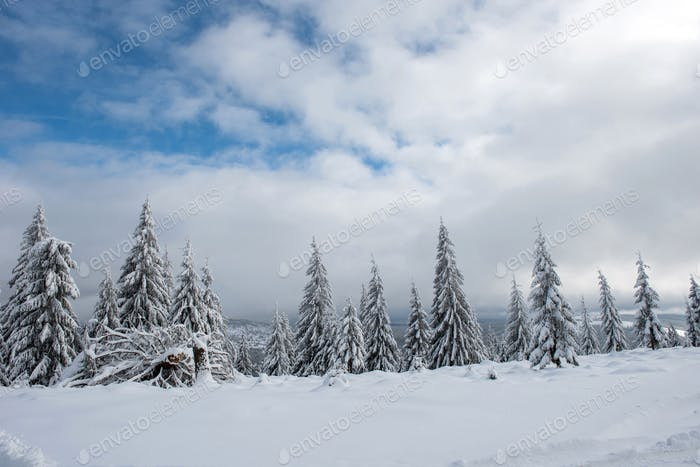 Christmas background, scenic snow covered forest in winter