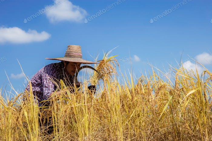 Farmers are harvesting on field