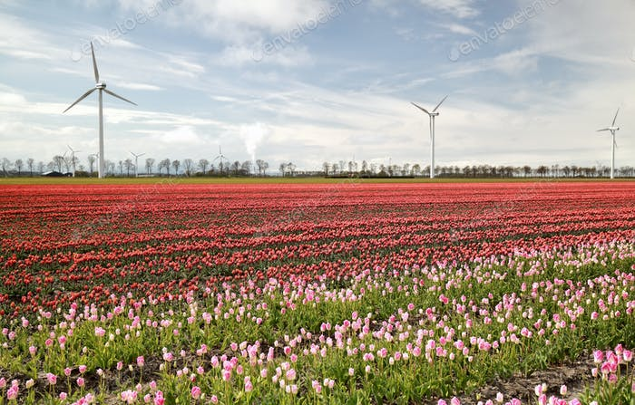 pink and red tulip field and windmills