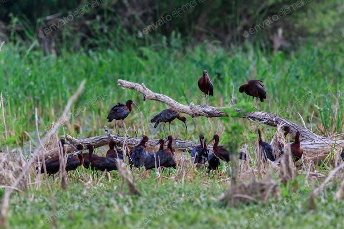 glossy ibis ( plegadis falcinellus ) in natural habitat
