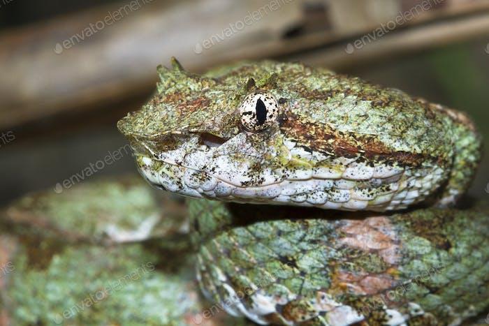 Wimpern Viper Up Close in Costa Rica