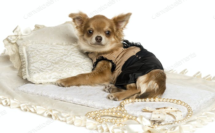 Dressed-up Chihuahua puppy lying on a carpet, 6 months, isolated on white