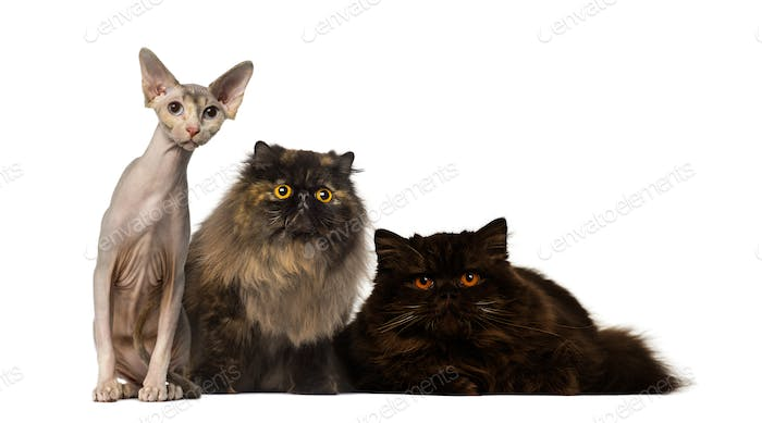 Hairless and furry cats staring