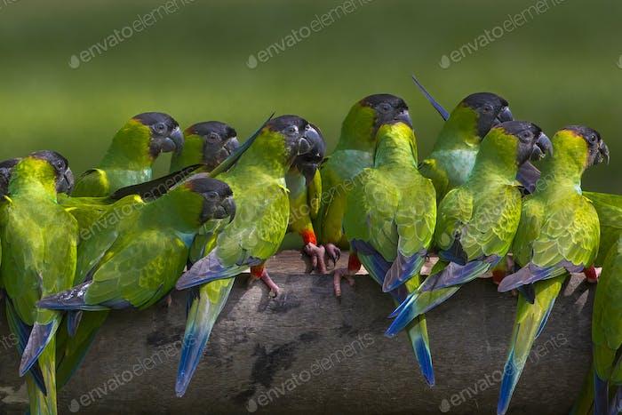 Nanday parakeets, Pantanal, Brazil