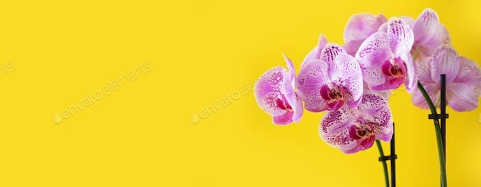 Zweig der violetten Orchidee auf leuchtend gelben Hintergrund. Banner mit Kopierraum. Frühling, Frauentag