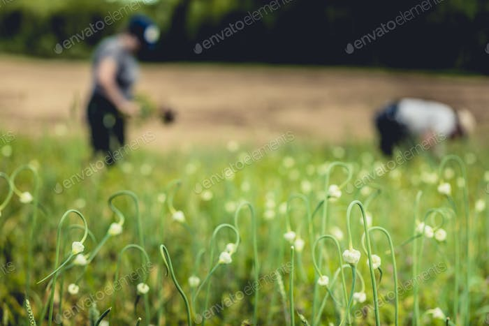 Two Farmers Picking Garlic in the Field
