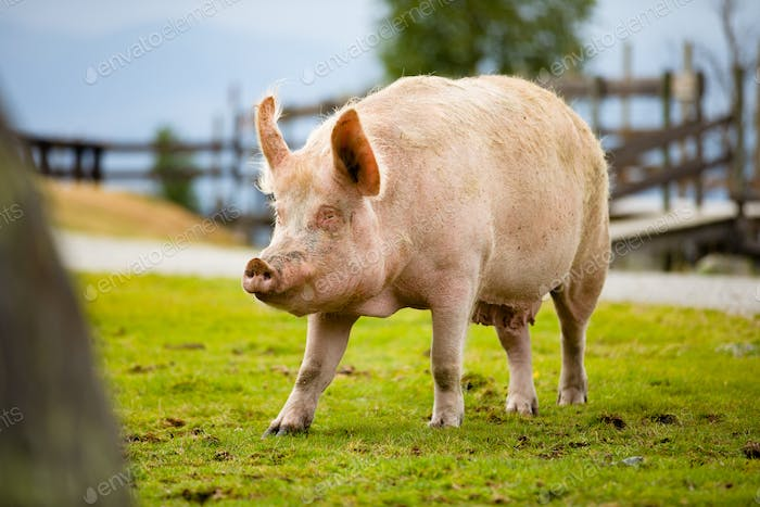 Large Pig Standing On Grassy Field At Farm