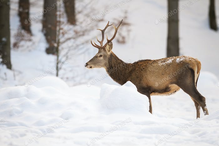 Adult male of red deer standing in the snowy forest