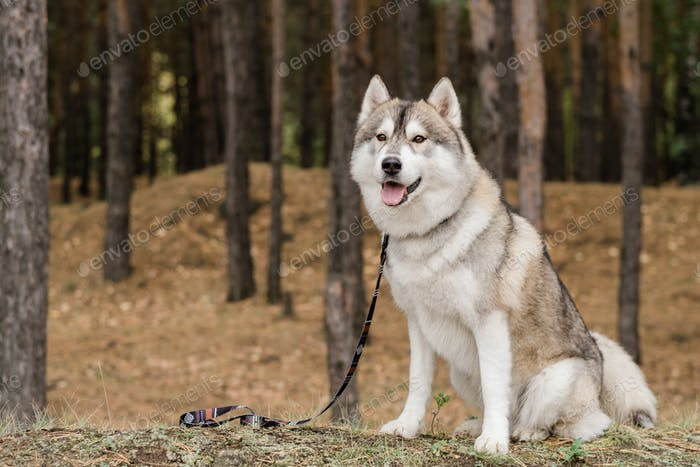Cute purebred dog with leash waiting for his master while sitting in the forest