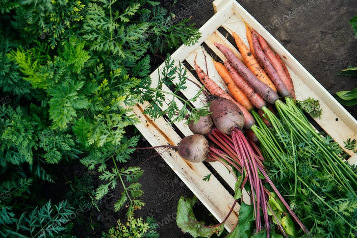 Bunch of fresh organic carrots and beets in a wooden box
