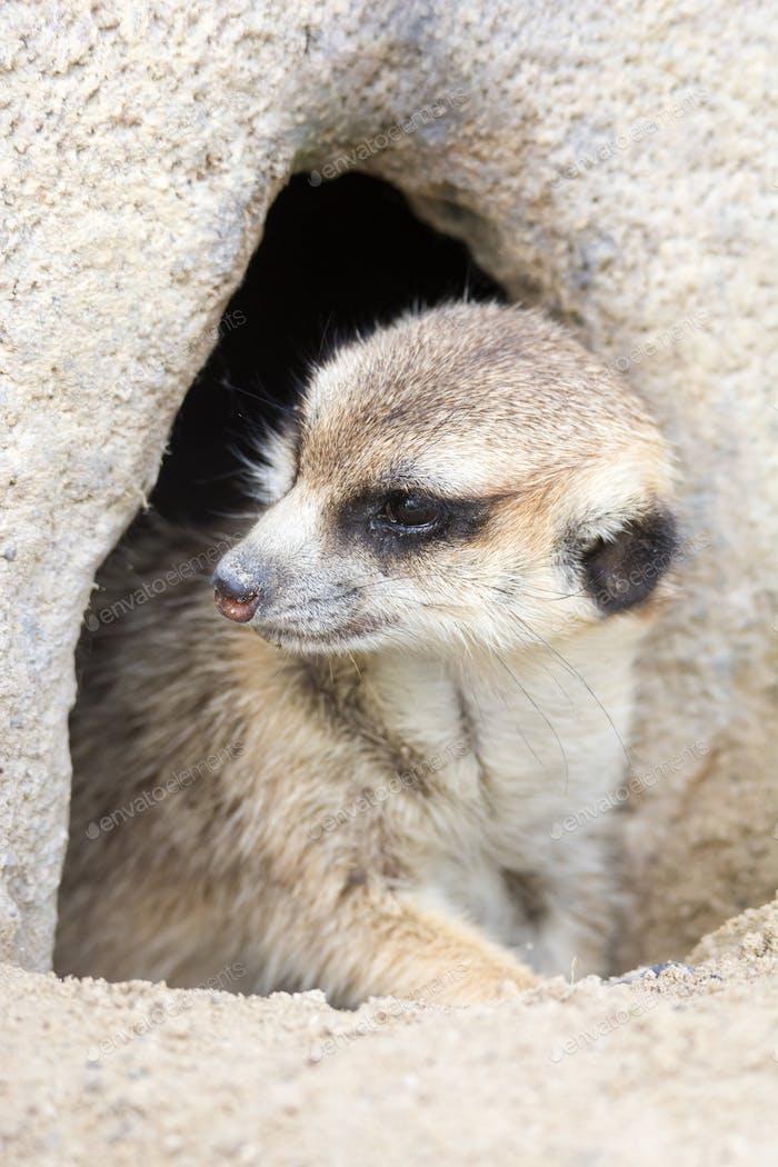 Meerkat hidden in a rock hole