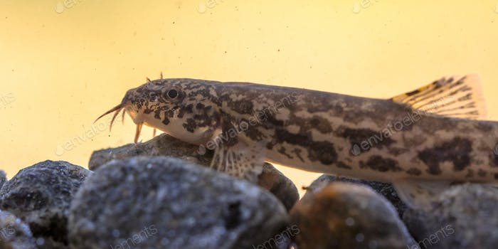 Stone loach resting on rocky bottom