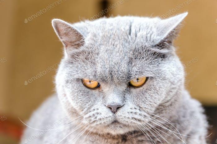 Portrait of british cat