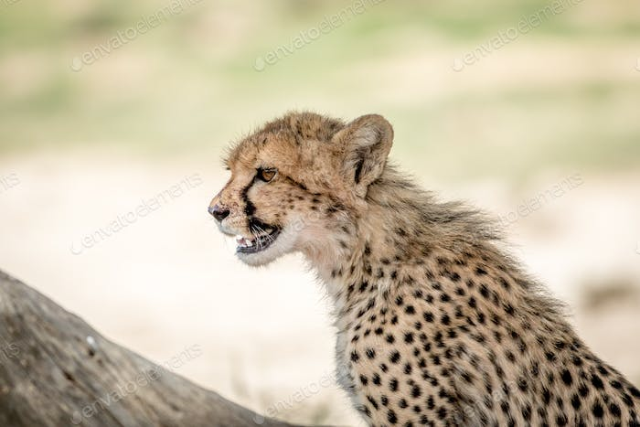Young Cheetah standing in the Kalagadi.