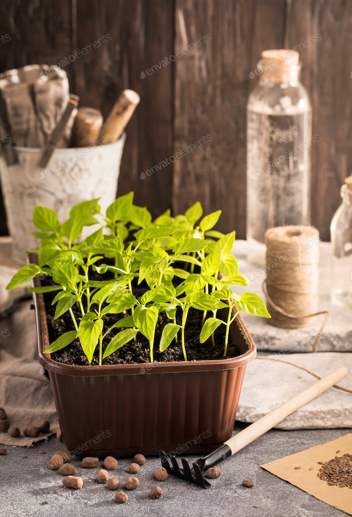 Plastic container with pepper seedlings plants