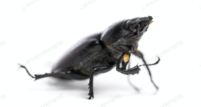 Dead Stag Beetle, Lucanus cervus, isolated on white