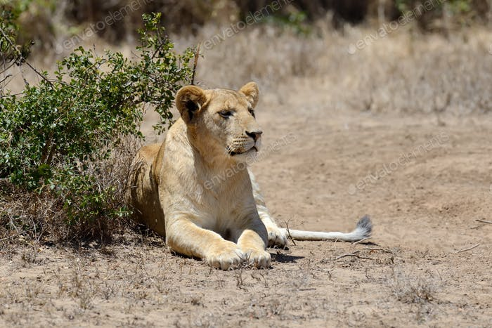 Lion in National park of Kenya
