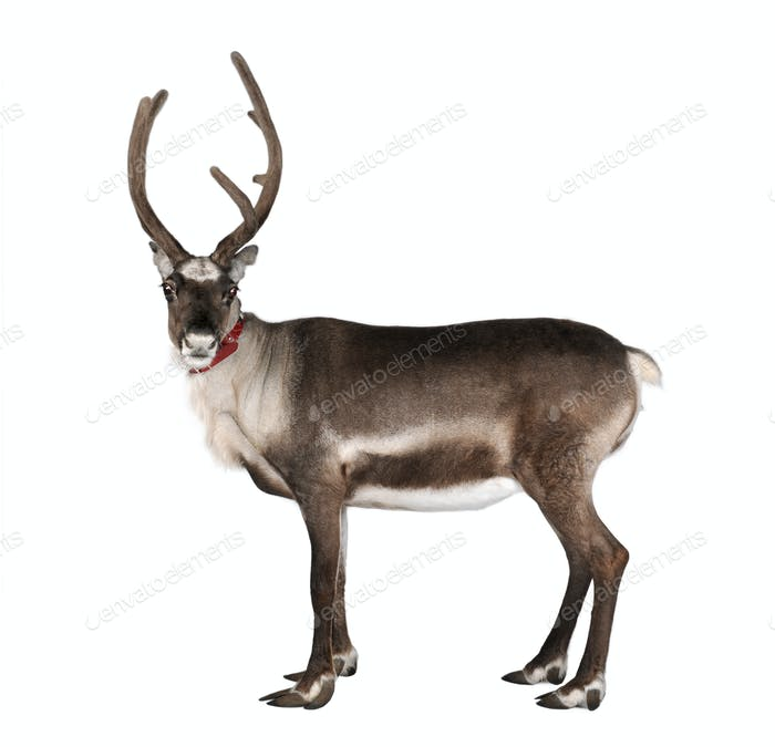 reindeer, side view, looking at the camera