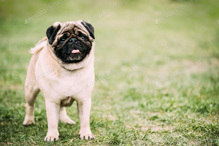 Young Pug Or Mops Standing In Green Grass