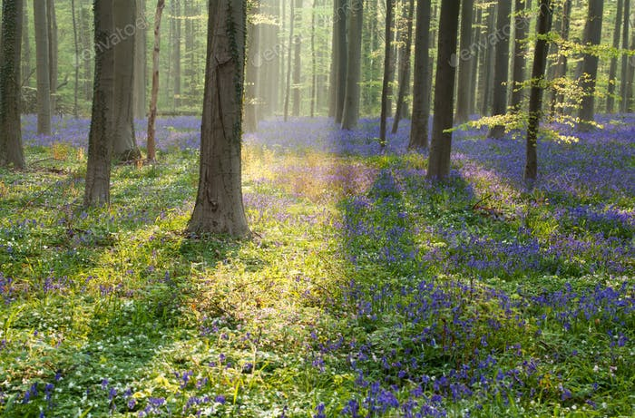 spring forest with flowering bluebells