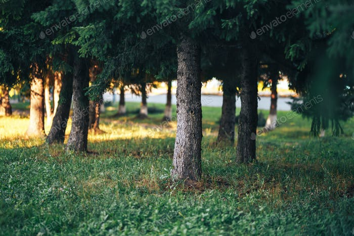 Grandes coníferas en el bosque en un día soleado y despejado, troncos de coníferas